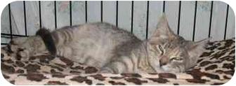 Domestic Shorthair Kitten for adoption in Jenkintown, Pennsylvania - Luna