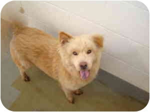 Chow Chow Mix Dog for adoption in Greenville, North Carolina - Simon