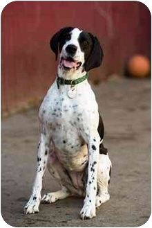 Pointer/Springer Spaniel Mix Dog for adoption in Portland, Oregon - Daisy