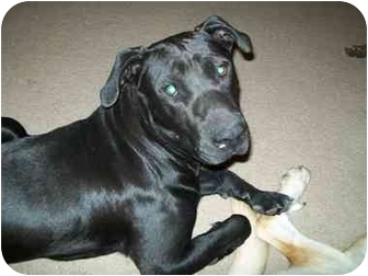Labrador Retriever/Pit Bull Terrier Mix Dog for adoption in Bunnell, Florida - Brooks