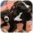 Photo 2 - American Staffordshire Terrier Mix Puppy for adoption in Berkeley, California - Sweetpea
