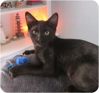 Domestic Shorthair Kitten for adoption in Cromwell, Connecticut - Stitch