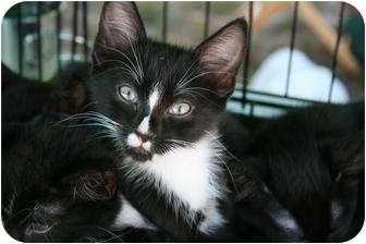 Domestic Shorthair Kitten for adoption in Pinehurst, North Carolina - Franklin
