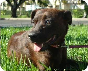 Labrador Retriever/American Pit Bull Terrier Mix Dog for adoption in Coral Springs, Florida - Princess