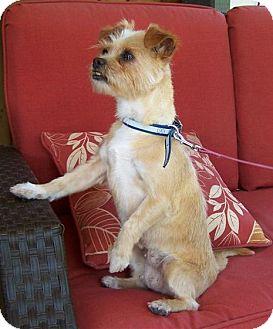 Shih Tzu/Chihuahua Mix Dog for adoption in Caledon, Ontario - Brandy