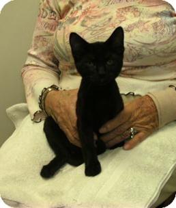 Domestic Shorthair Kitten for adoption in Daytona Beach, Florida - Haven