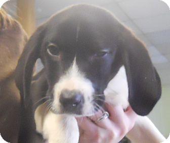 Border Collie Mix Puppy for adoption in Belvidere, Illinois - Babette