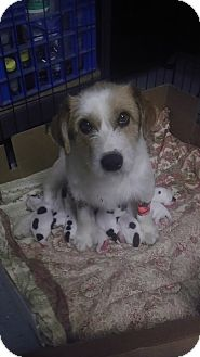Jack Russell Terrier Puppy for adoption in Dallas/Ft. Worth, Texas - Sprinkles' puppies!!