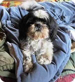 Shih Tzu Mix Dog for adoption in Fernley, Nevada - Casey