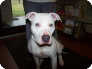 Pit Bull Terrier Mix Dog for adoption in Sidney, Ohio - Zeus