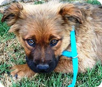 German Shepherd Dog/Cattle Dog Mix Puppy for adoption in Gilbert, Arizona - Fozzie