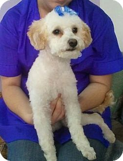 Bichon Frise/Poodle (Toy or Tea Cup) Mix Puppy for adoption in Encinitas, California - Chai Chai
