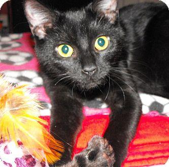 Bombay Kitten for adoption in Taylor Mill, Kentucky - Gypsy-DECLAWED 4 MONTH kitten