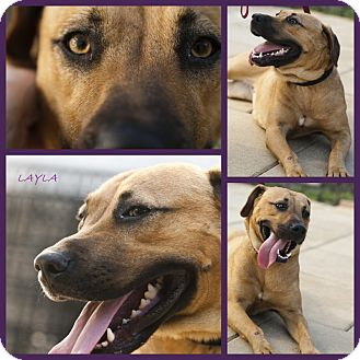 Shepherd (Unknown Type)/Labrador Retriever Mix Puppy for adoption in hollywood, Florida - layla
