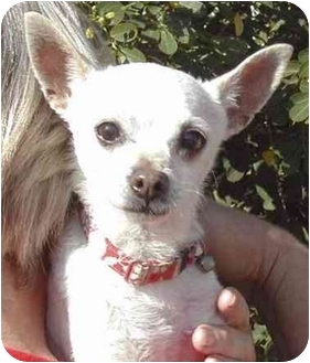 Chihuahua Dog for adoption in Rolling Hills Estates, California - Haole