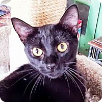 Adopt A Pet :: Cesare Borgia - Dallas, TX