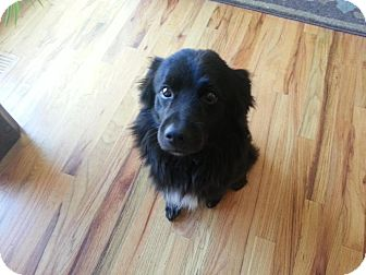 Spaniel (Unknown Type)/Sheltie, Shetland Sheepdog Mix Dog for adoption in Saskatoon, Saskatchewan - Franco
