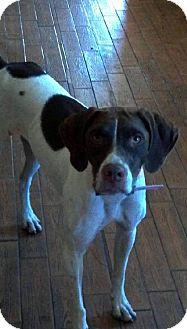 German Shorthaired Pointer/Pointer Mix Dog for adoption in New Smyrna beach, Florida - Reba