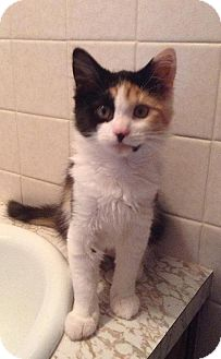 Calico Kitten for adoption in HILLSBORO, Oregon - Face