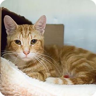 Domestic Shorthair Cat for adoption in Janesville, Wisconsin - Graham