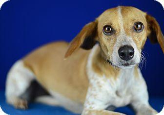 Dachshund/Hound (Unknown Type) Mix Dog for adoption in LAFAYETTE, Louisiana - LEIA