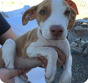 Boxer Mix Puppy for adoption in Gunnison, Colorado - Lily