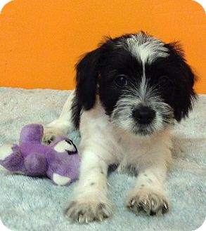 Terrier (Unknown Type, Medium) Mix Puppy for adoption in Boca Raton, Florida - Honeydew