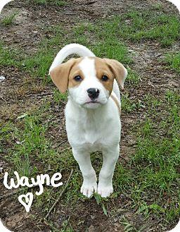 Terrier (Unknown Type, Medium)/Blue Heeler Mix Puppy for adoption in Harrisburg, Pennsylvania - Wayne