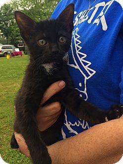 Domestic Shorthair Kitten for adoption in Trenton, New Jersey - Arlo