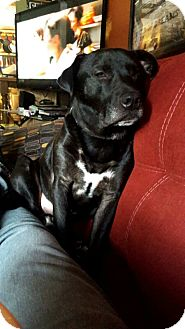 Labrador Retriever/Pit Bull Terrier Mix Dog for adoption in Wyoming, Michigan - Dominic