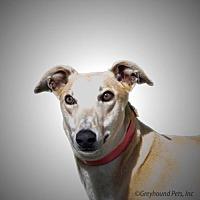 Adopt A Pet :: Ringo - Woodinville, WA