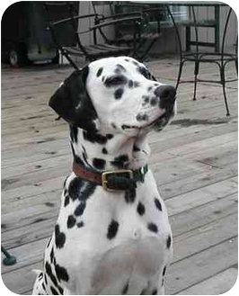 Dalmatian Dog for adoption in Pacific Grove, California - Charlie