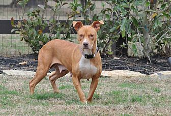 American Staffordshire Terrier Mix Dog for adoption in San Jose, California - Dixie