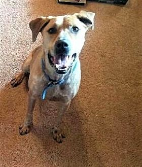 Hound (Unknown Type)/Australian Cattle Dog Mix Dog for adoption in Dale, Indiana - Bear Phillips