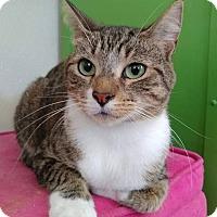 Domestic Shorthair Cat for adoption in Umatilla, Florida - Charlotte
