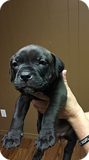 Boxer/American Pit Bull Terrier Mix Puppy for adoption in Broken Arrow, Oklahoma - Puppy 4