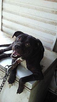 Border Collie/French Bulldog Mix Dog for adoption in Winder, Georgia - Ladybug