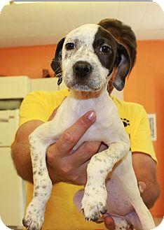 Pit Bull Terrier Mix Puppy for adoption in Boca Raton, Florida - Peppermint Patty