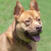 Adopt A Pet :: Barnabus *Graduate* - Ashland, VA