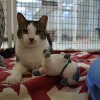 Domestic Shorthair/Domestic Shorthair Mix Cat for adoption in Covington, Louisiana - Camelia