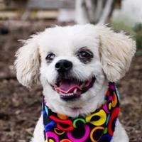 Adopt A Pet :: Lesli - Itasca, IL