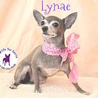 Chihuahua Dog for adoption in Wellington, Florida - Lynae