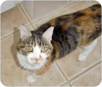 Calico Cat for adoption in Houston, Texas - Willow