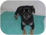 Chihuahua/Chihuahua Mix Dog for adoption in Macclenny, Florida - Rocco