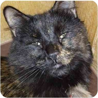 Domestic Shorthair Cat for adoption in Denver, Colorado - Hazel