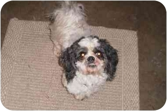 Shih Tzu/Poodle (Miniature) Mix Dog for adoption in Bay City, Michigan - Scooter~~adopted 3/2011~~