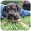 Photo 1 - American Bulldog/Rottweiler Mix Puppy for adoption in Mahwah, New Jersey - Jesse