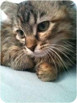 Domestic Longhair Kitten for adoption in Overland Park, Kansas - Scarlet