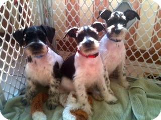 Schnauzer (Miniature) Mix Puppy for adoption in North Benton, Ohio - 3 Black/White Parti Puppies