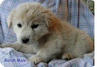 Australian Shepherd/Labrador Retriever Mix Puppy for adoption in Danbury, Connecticut - Batch ADOPTION PENDING